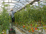 Tomato technology helps to safeguard jobs for the future